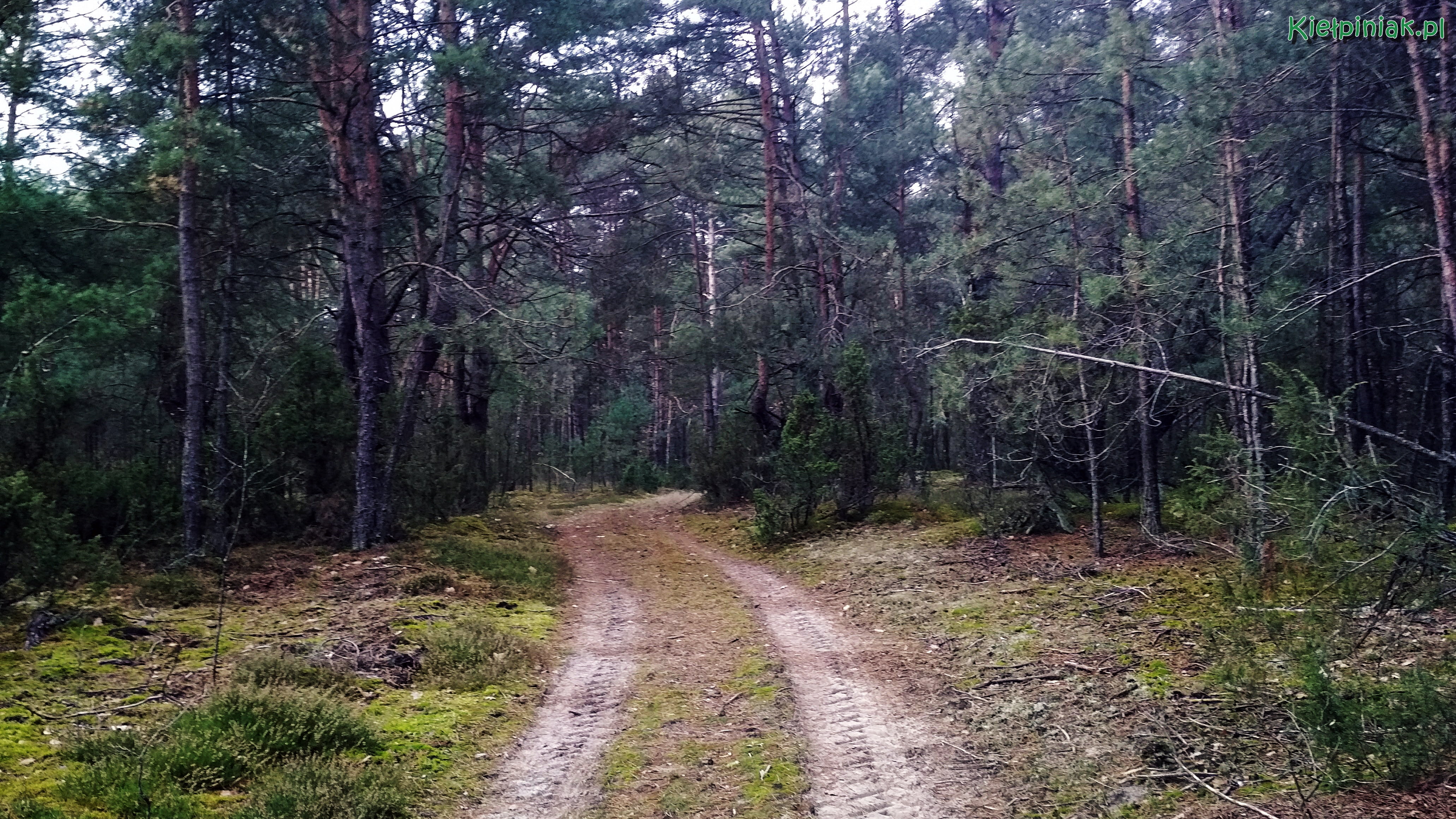 kiełpiński las