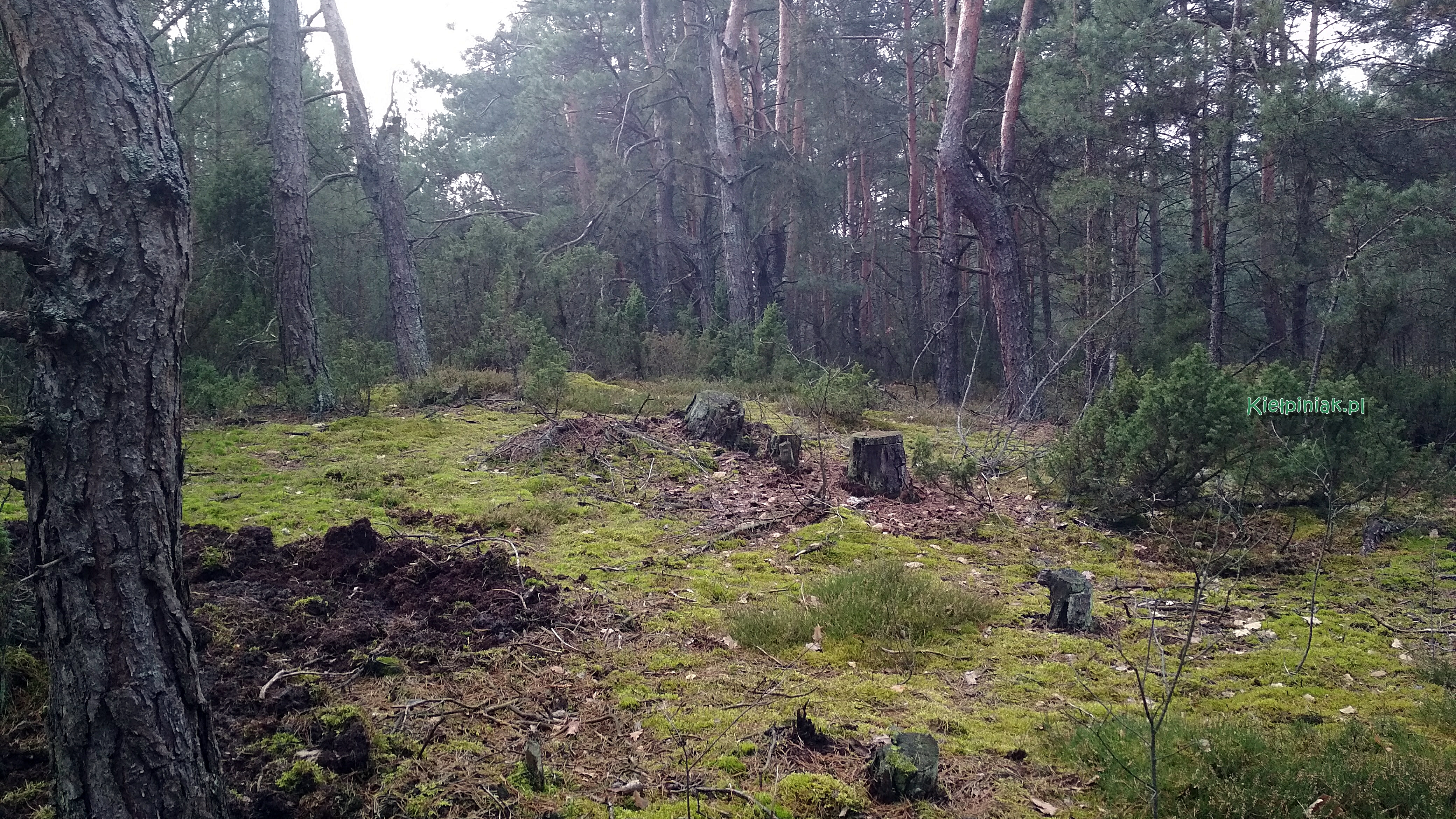 las w okolicy kielpinca