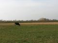 krowa nad bugiem