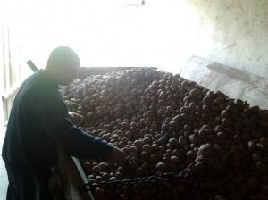 segregacja ziemniaków kiełpiniec 2014