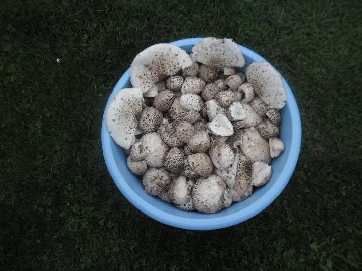 grzyby kanie kiełpiniec