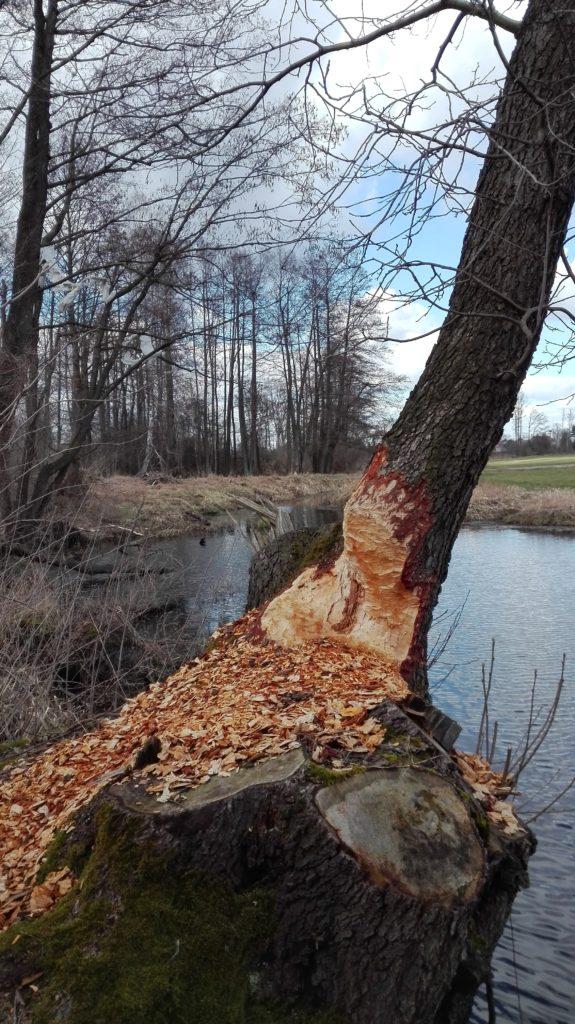 bobry w Kiełpińcu