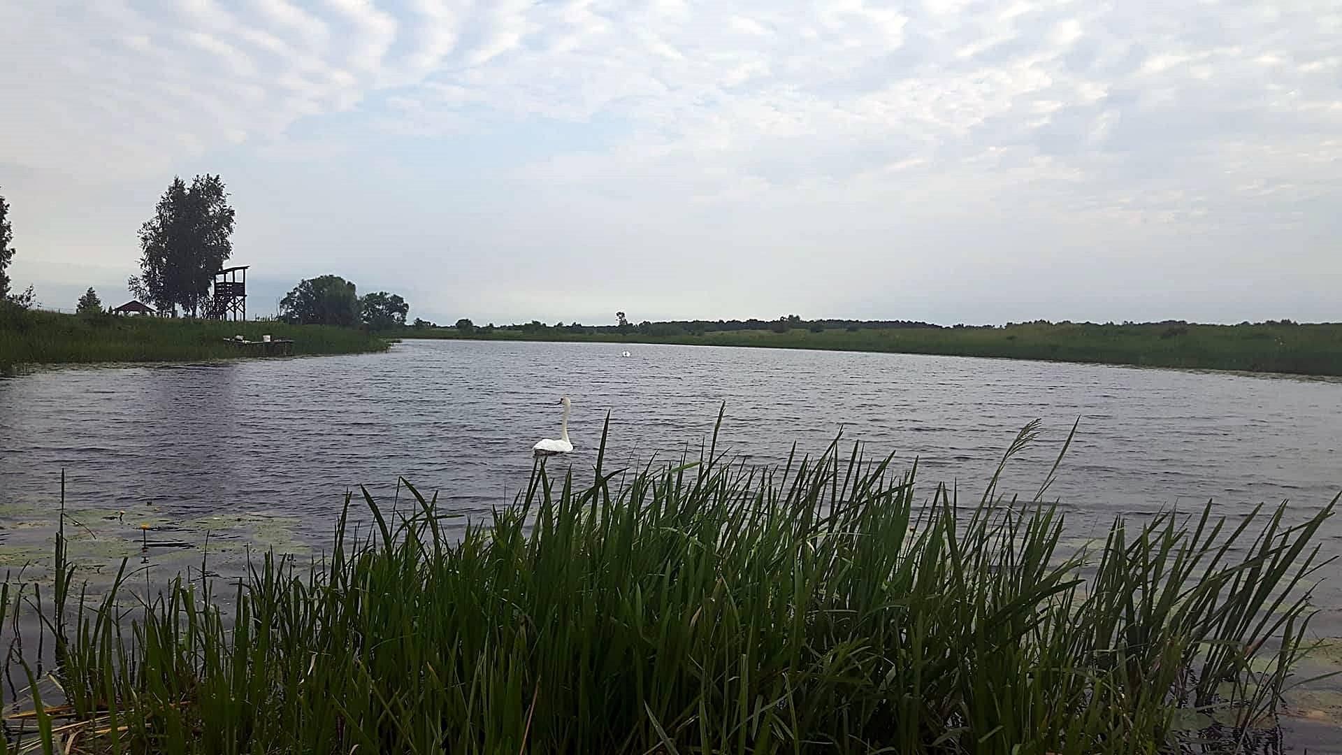 łabądź na jeziorze