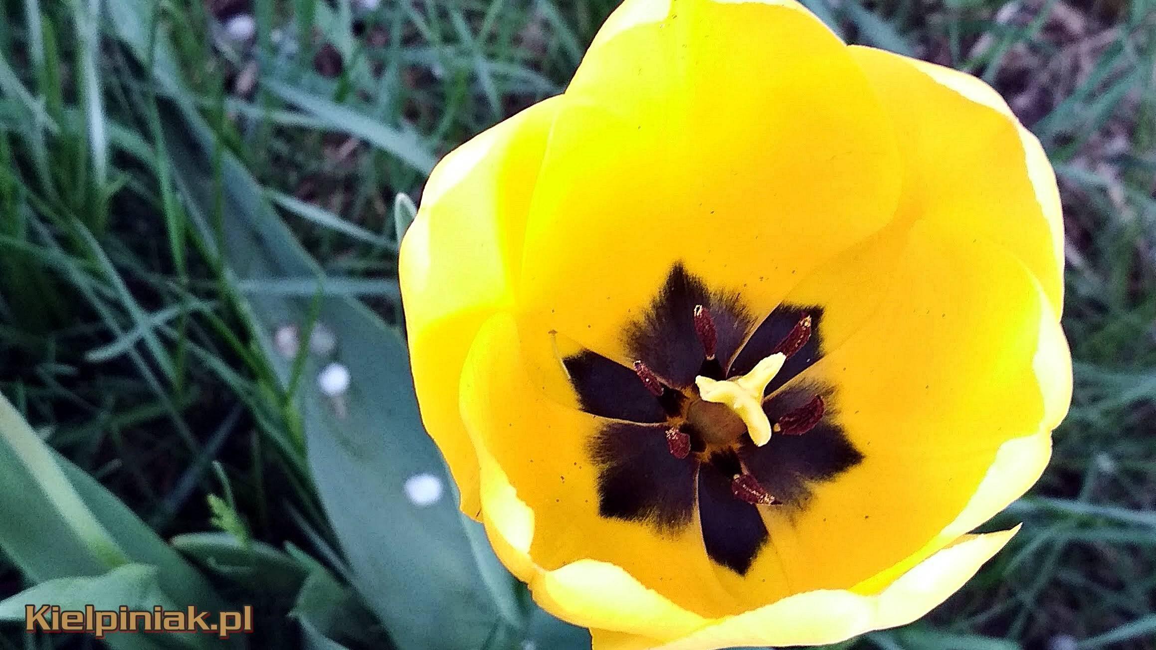 kiełpiniak kwiat tapeta