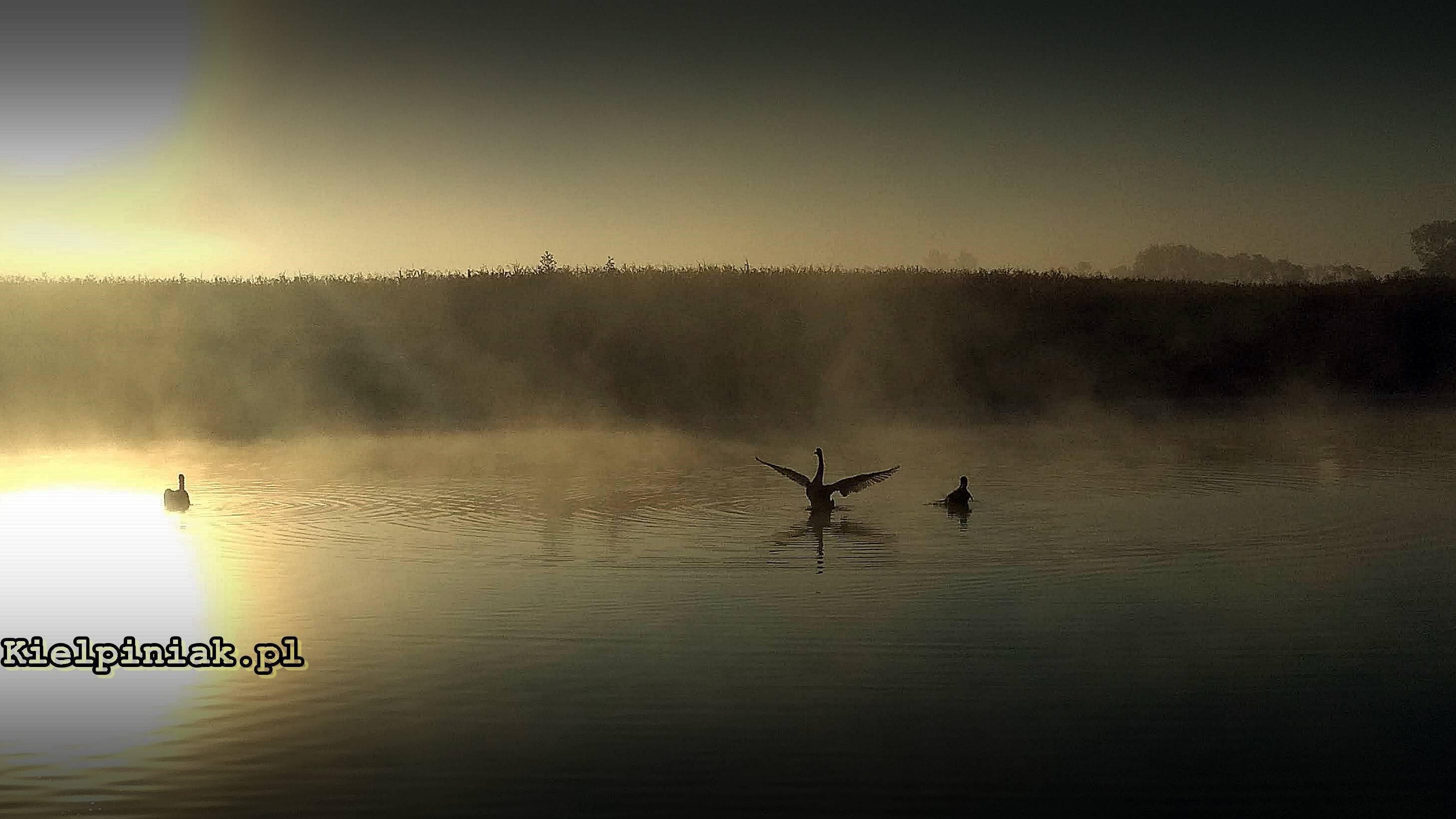 wschód słońca nad jeziorem i łabędzie