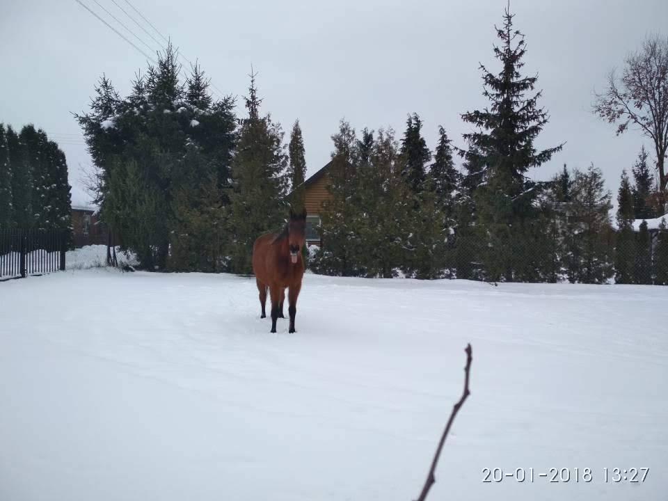 piękny koń zimą w kiełpińcu